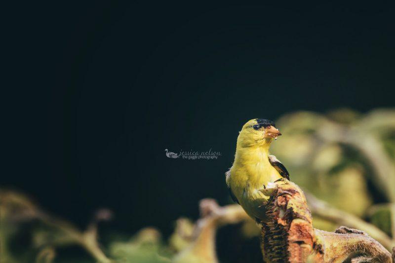 Goldfinch on sunflower