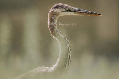blue heron close