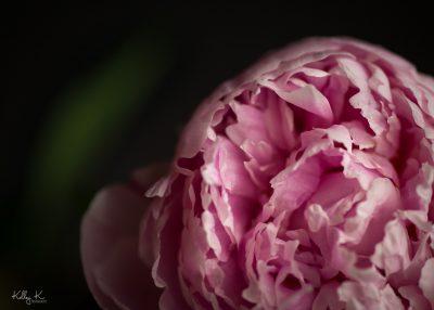 Pink peony macro fine art photo by Kelley K Photography in Smyrna, GA