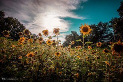 sunflowers blue