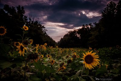 sunflowers moody