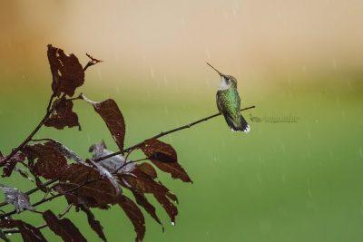 hummingbird rain