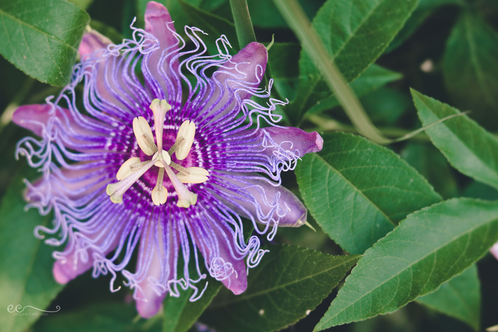 Purple Passionflower By Eileen Critchley