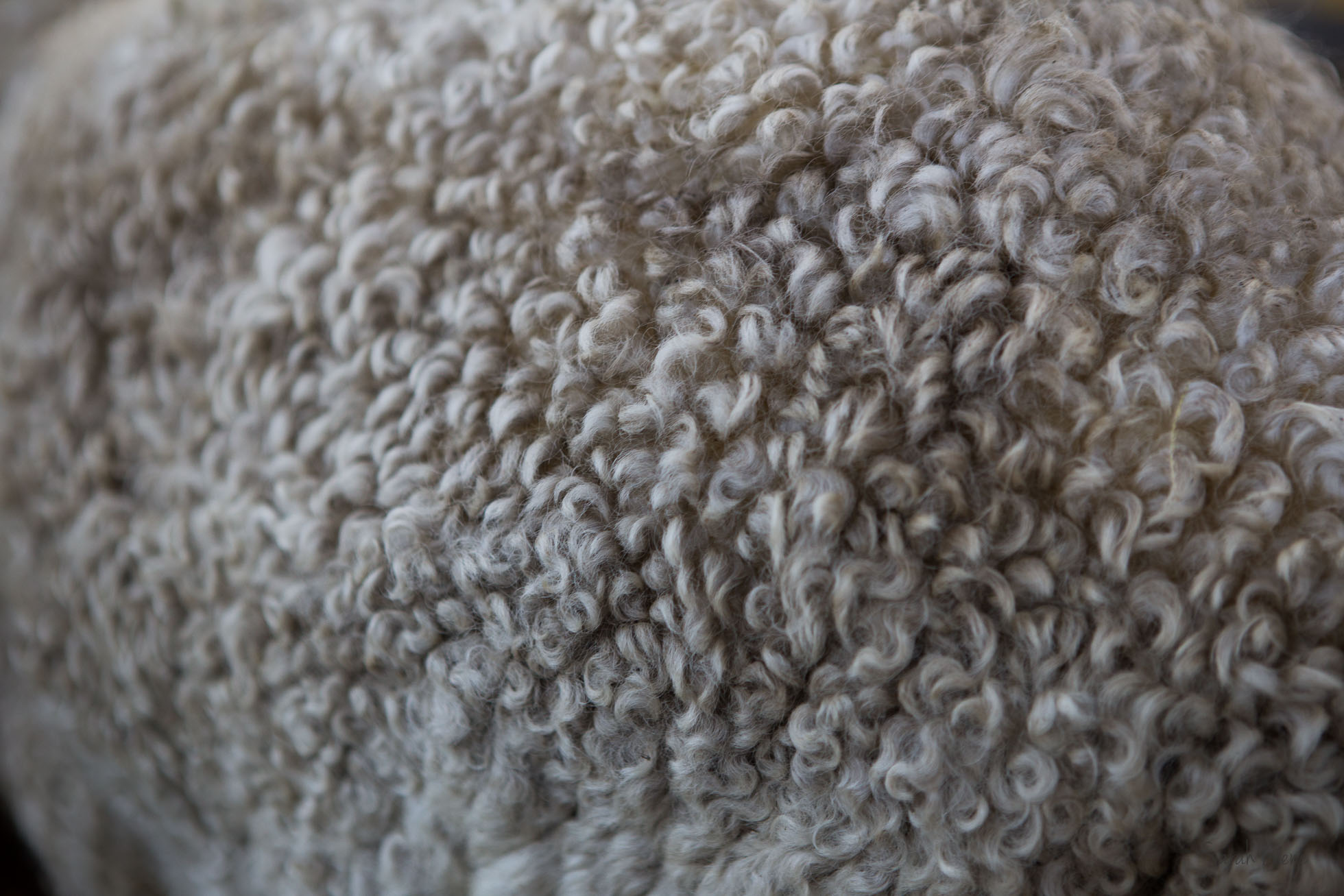 The most beautiful Leicester Longwool sheep