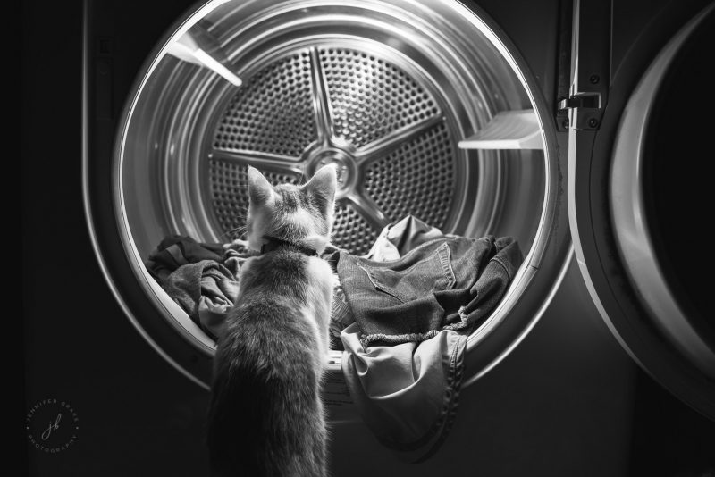 A kitten peers inside the open clothes dryer, having already pulled some clothing out.