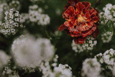 ebony-logins-clickin-moms-daily-project-wedding-victoria-bc-red-flower-rain-drop