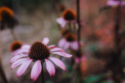 ebony-logins-clickin-moms-daily-project-wedding-victoria-bc-fall-flower-pink-daisy