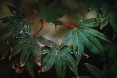 ebony-logins-clickin-moms-daily-project-wedding-victoria-bc-japanese-maple-green-fall-leaves