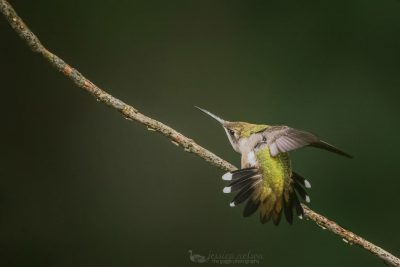 hummingbird stretching