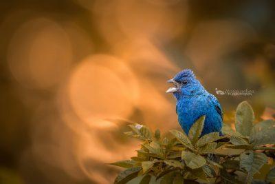 indigo bunting singing