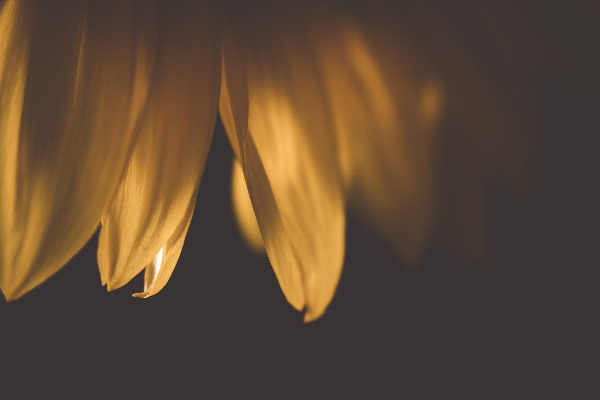 yellow flower petal macro tiffany kelly