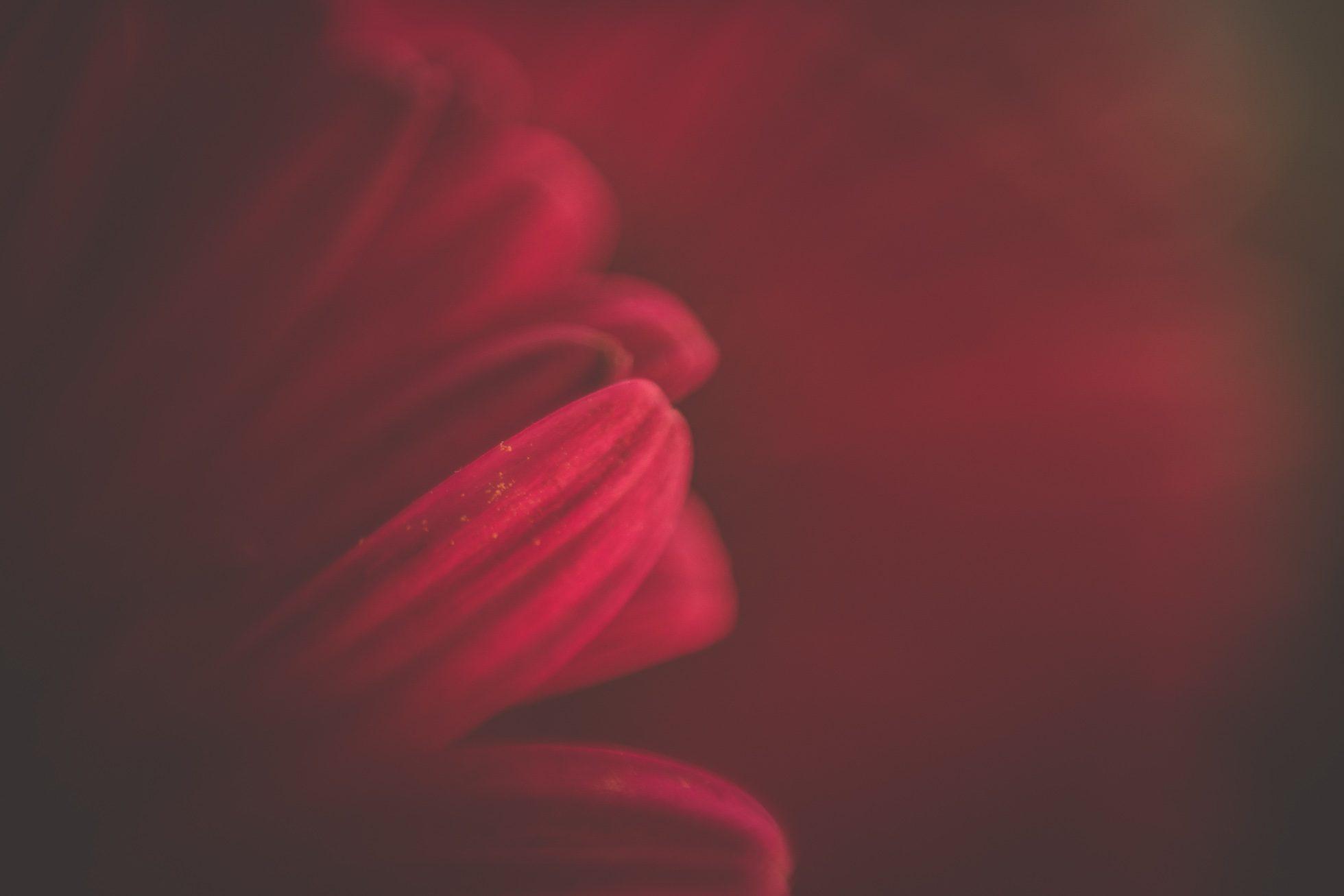 macro gerbera petals tiffany kelly