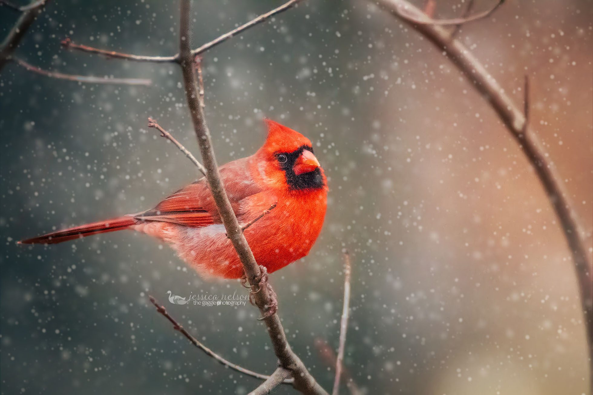 cardinal puffy