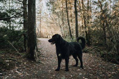 ebony-logins-clickin-moms-daily-project-wedding-victoria-bc--morning-hike-lab-bernese-mountain-dog