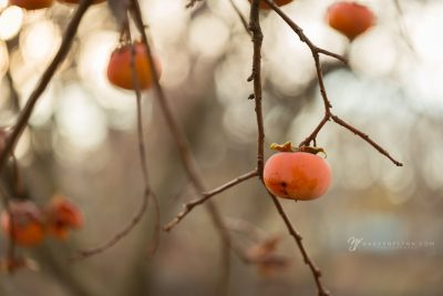 orange persimmons in tree with bare branches