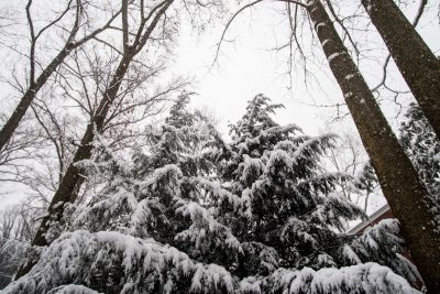 snow on tall trees