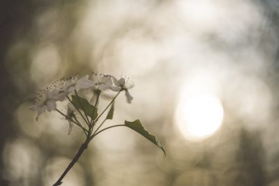 bradford pear blooms with sun bokeh by tiffany kelly