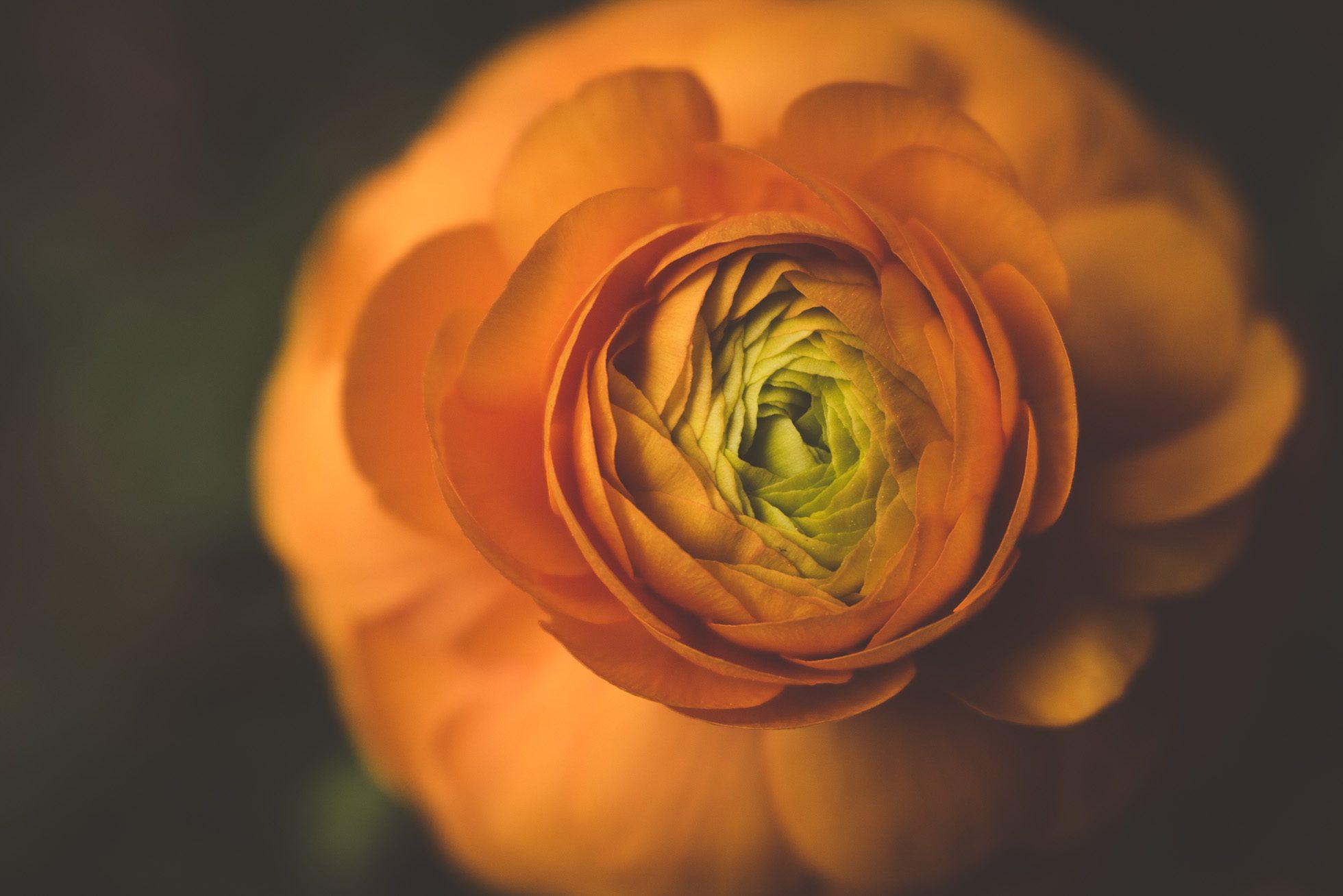 ranunculus orange flower opening macro by tiffany kelly
