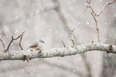 A tufted titmouse surrounded by swirling snow.
