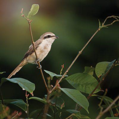 singapore birder nature shirke
