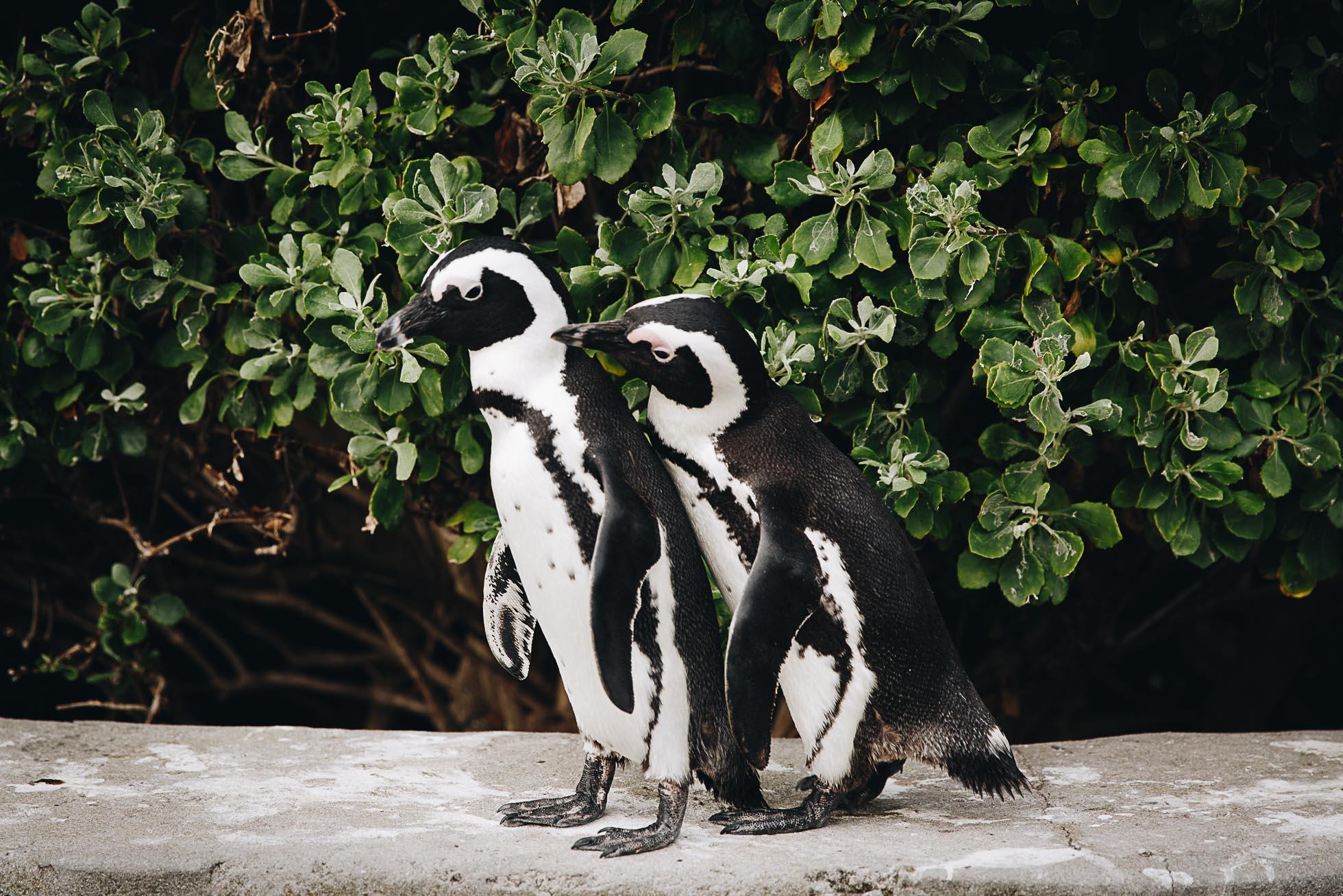 penguins snuggling in boulder rock South Africa