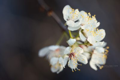 tender almond blossoms in spring
