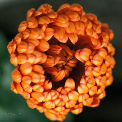 orange_flower_film_provia_200_Lensbaby_velvet56_macro   sunny side up   {film}_click-Pro_daily_project_by Eileen Critchley