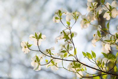Sunlight filtering through white dogwood blooms