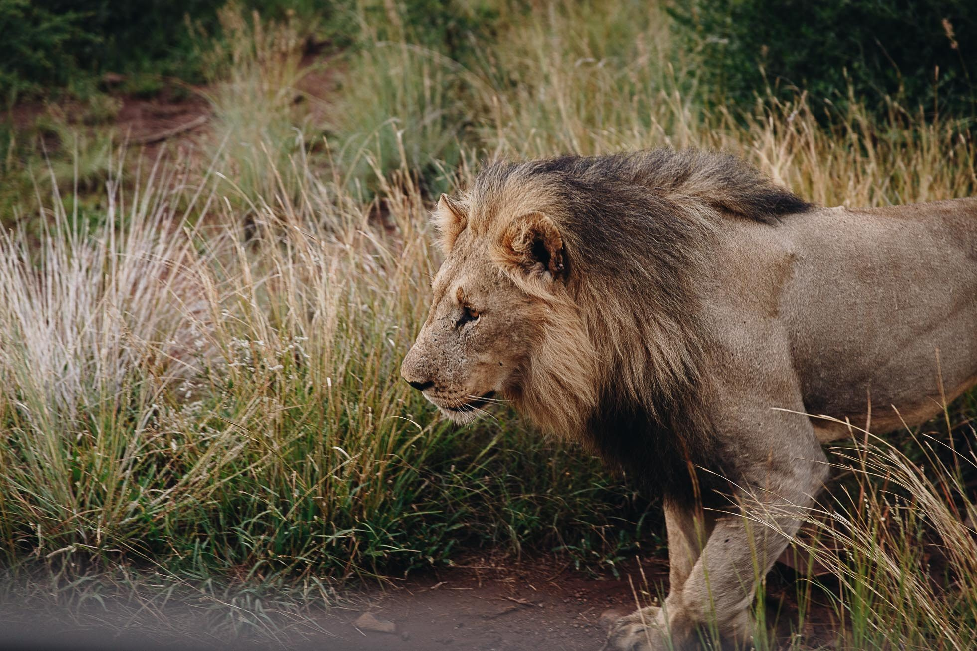 African lion walking through the reserve