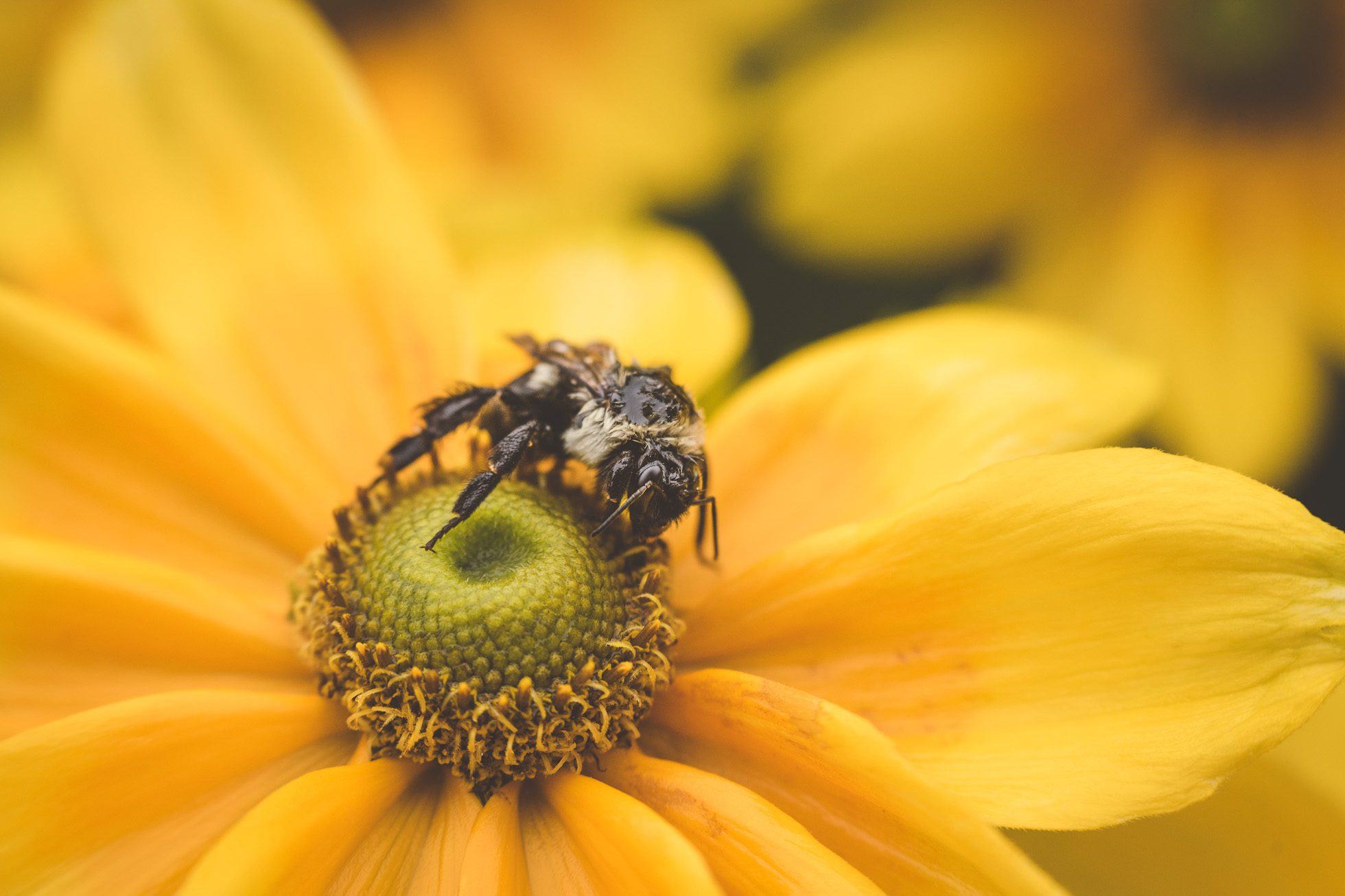 bee on yellow flower macro by tiffany kelly
