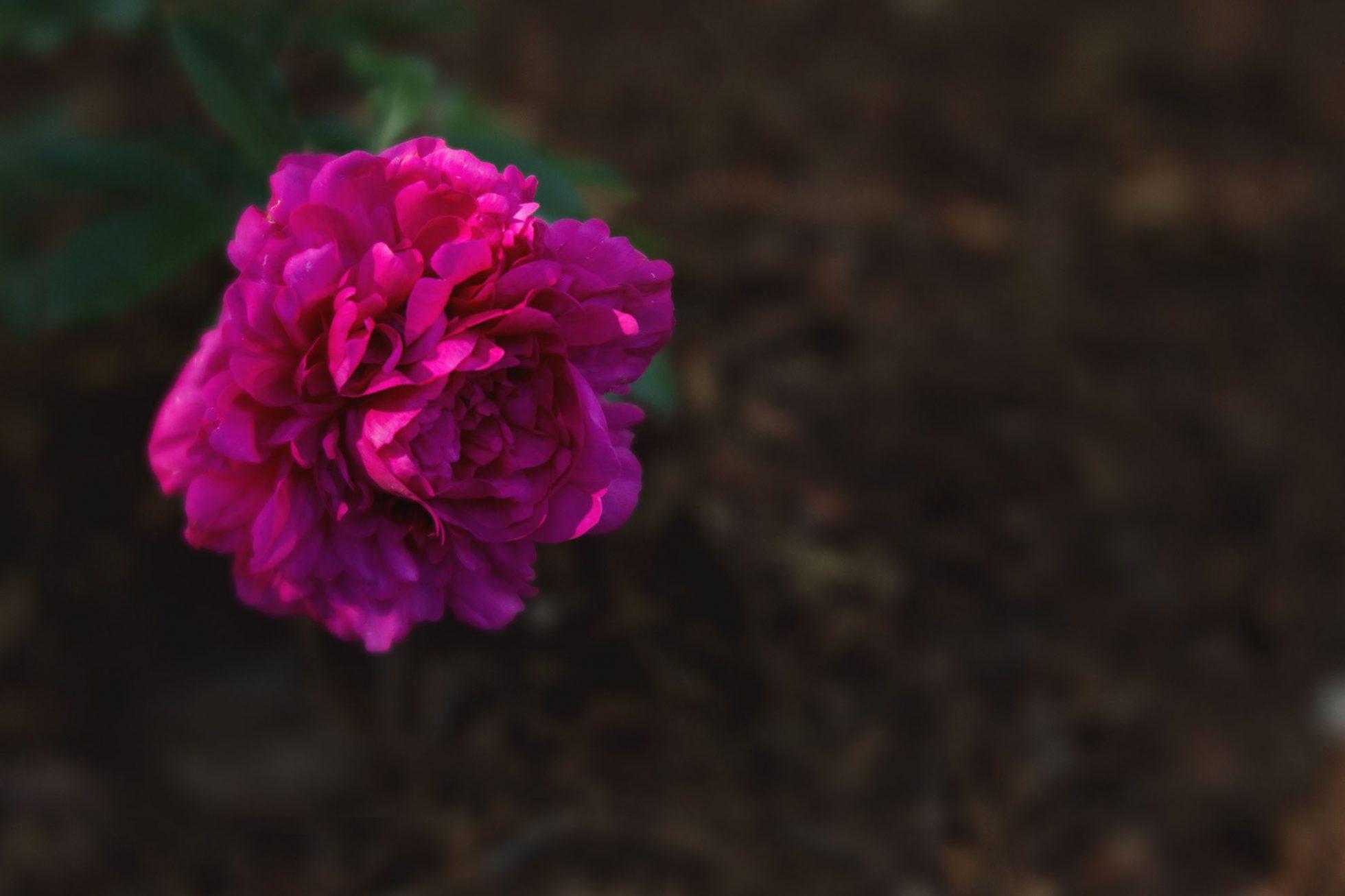 magenta flower - nature photography