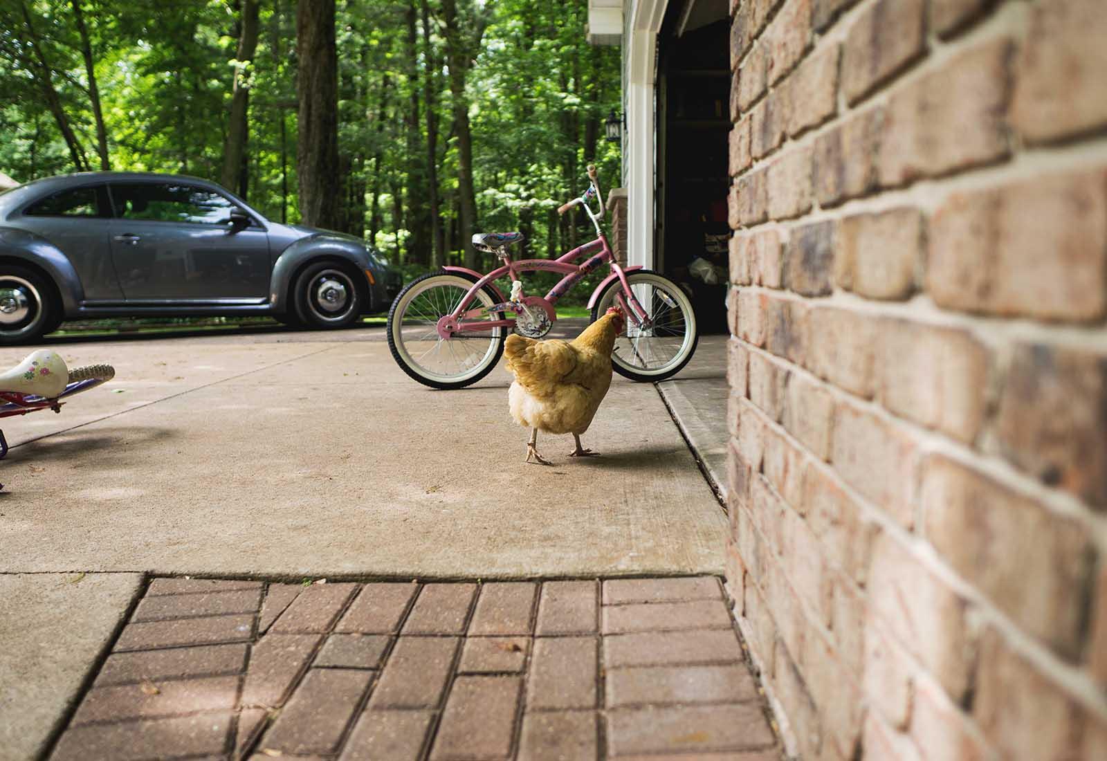 A chicken walks into a garage by Elizabeth Ordonez