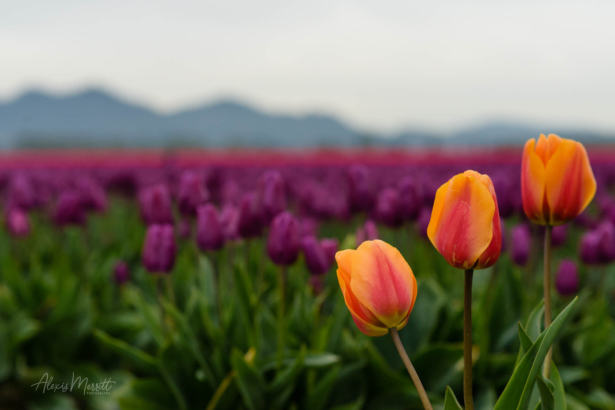 Three Tulips with background of tulips at Roozengaarde in Mt Vernon, WA by Seattle Photographer Alexis Merritt