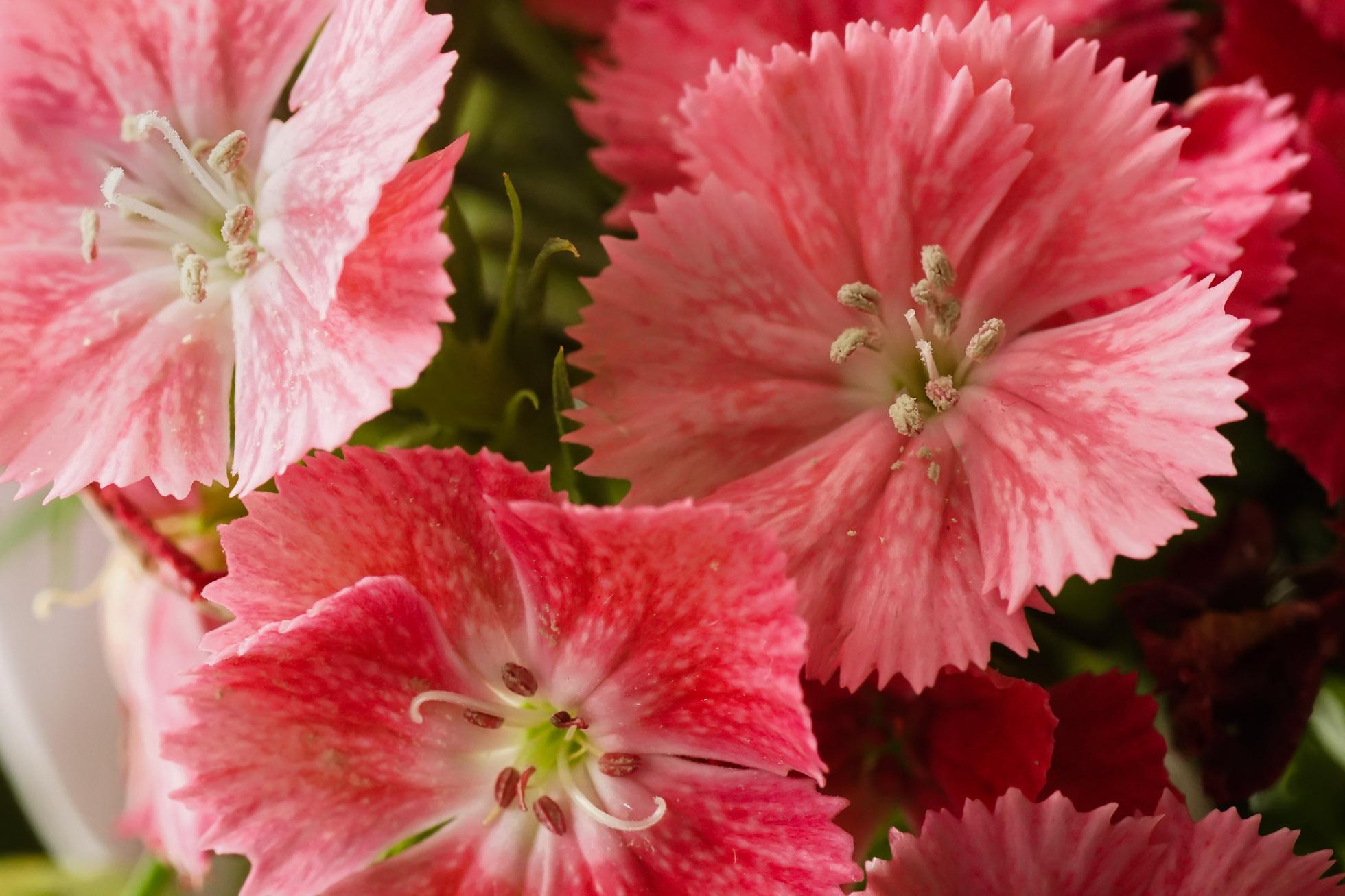 Tiny pink flowers by jenny waller tiny pink flowers mightylinksfo