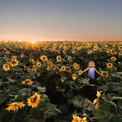 M_Haugen_DP_sunflowers freelensed-1