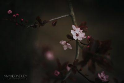 Spring blossom fine art photograph Amersham Buckinghamshire