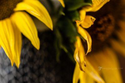 sunflowers up close