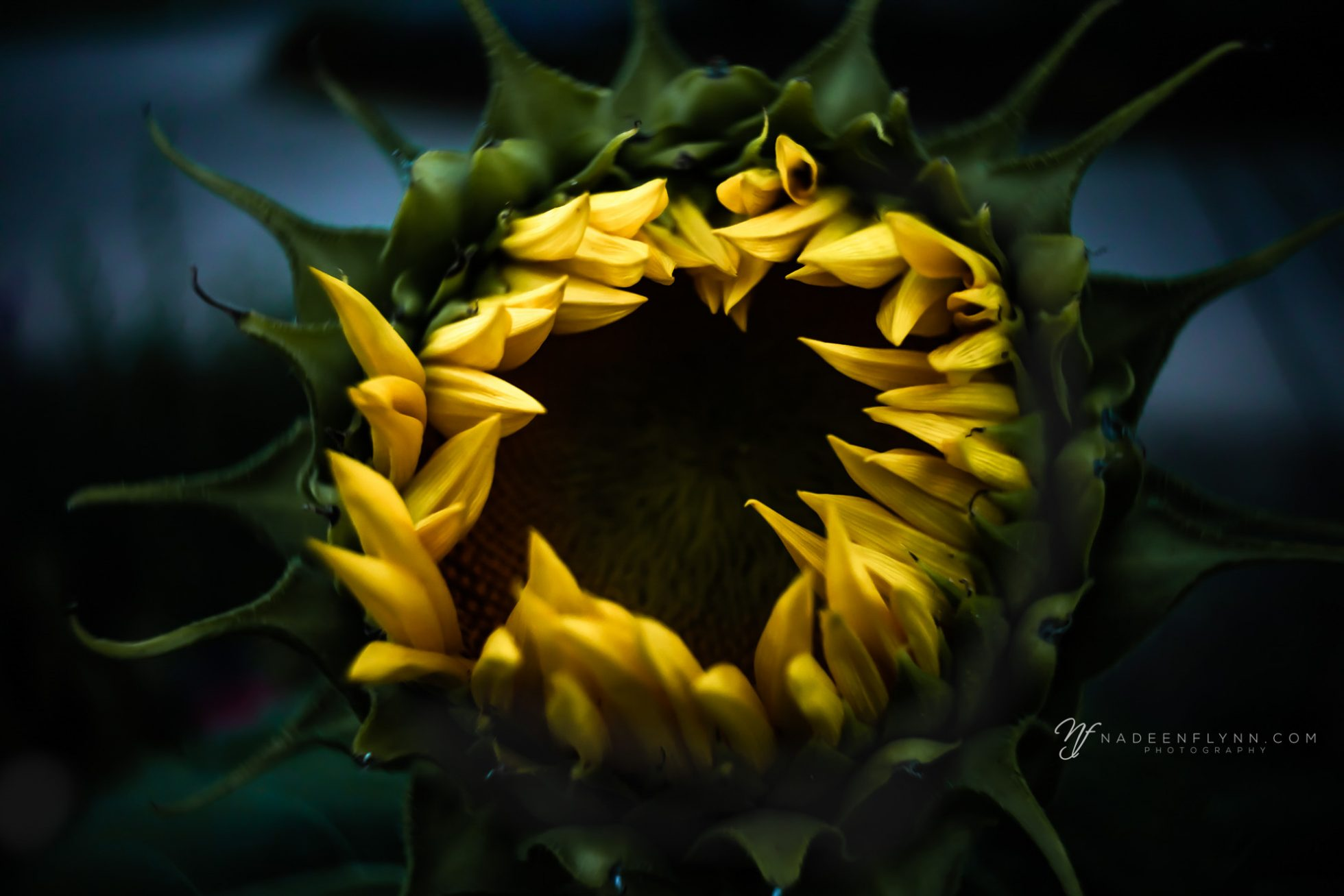 sunflower photographed with the Lensbaby Burnside