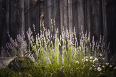 field lavender photographed with the Lensbaby Burnside