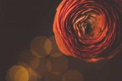 macro ranunculuse flower macro image by tiffany kelly