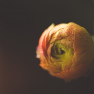 ranunculus bud flower macro by tiffany kelly