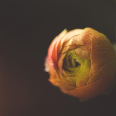 ranunculus bud flower macro by tiffany kelly