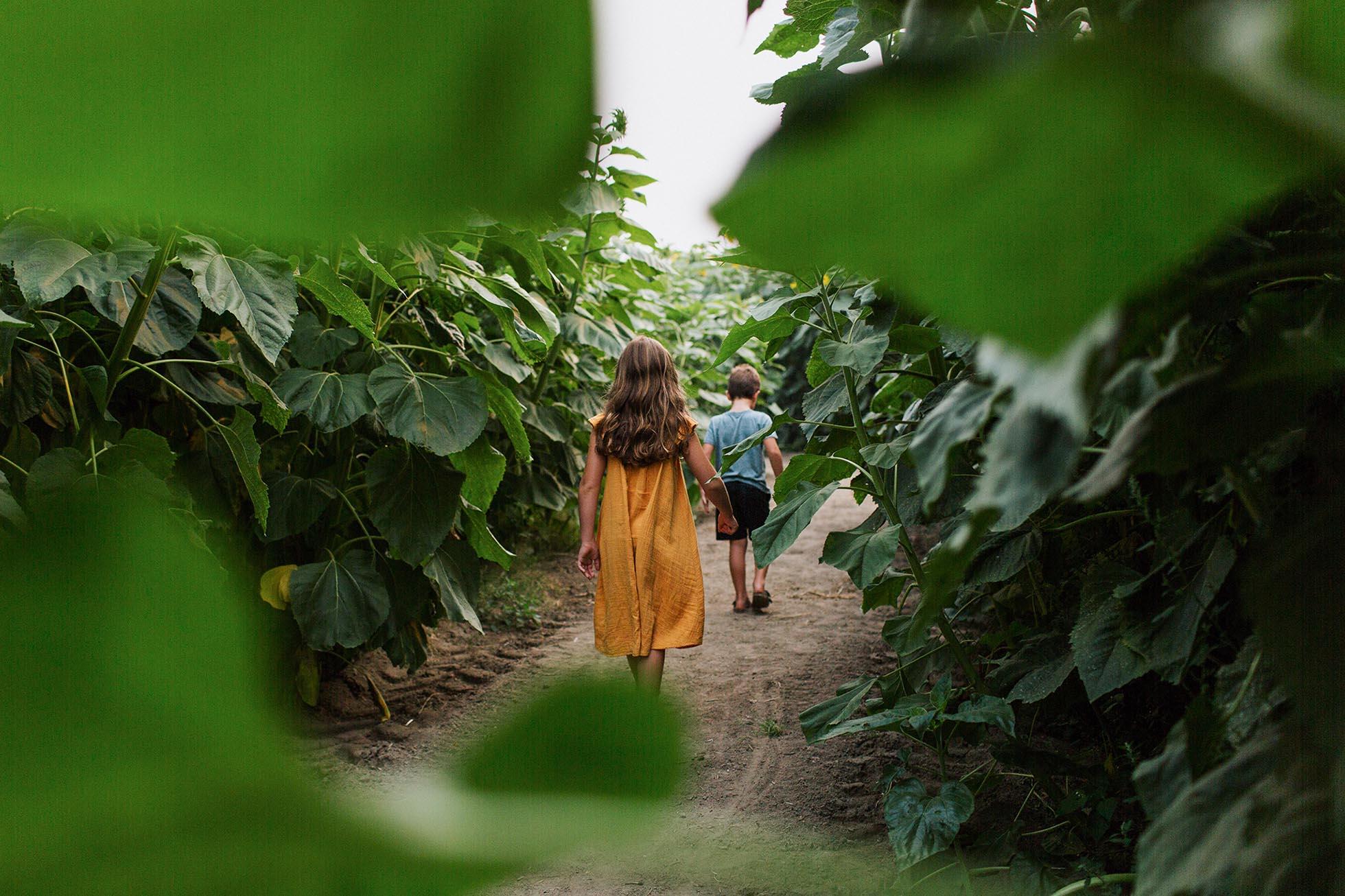 Peekaboo view of children walking on a path through a sunflower field.