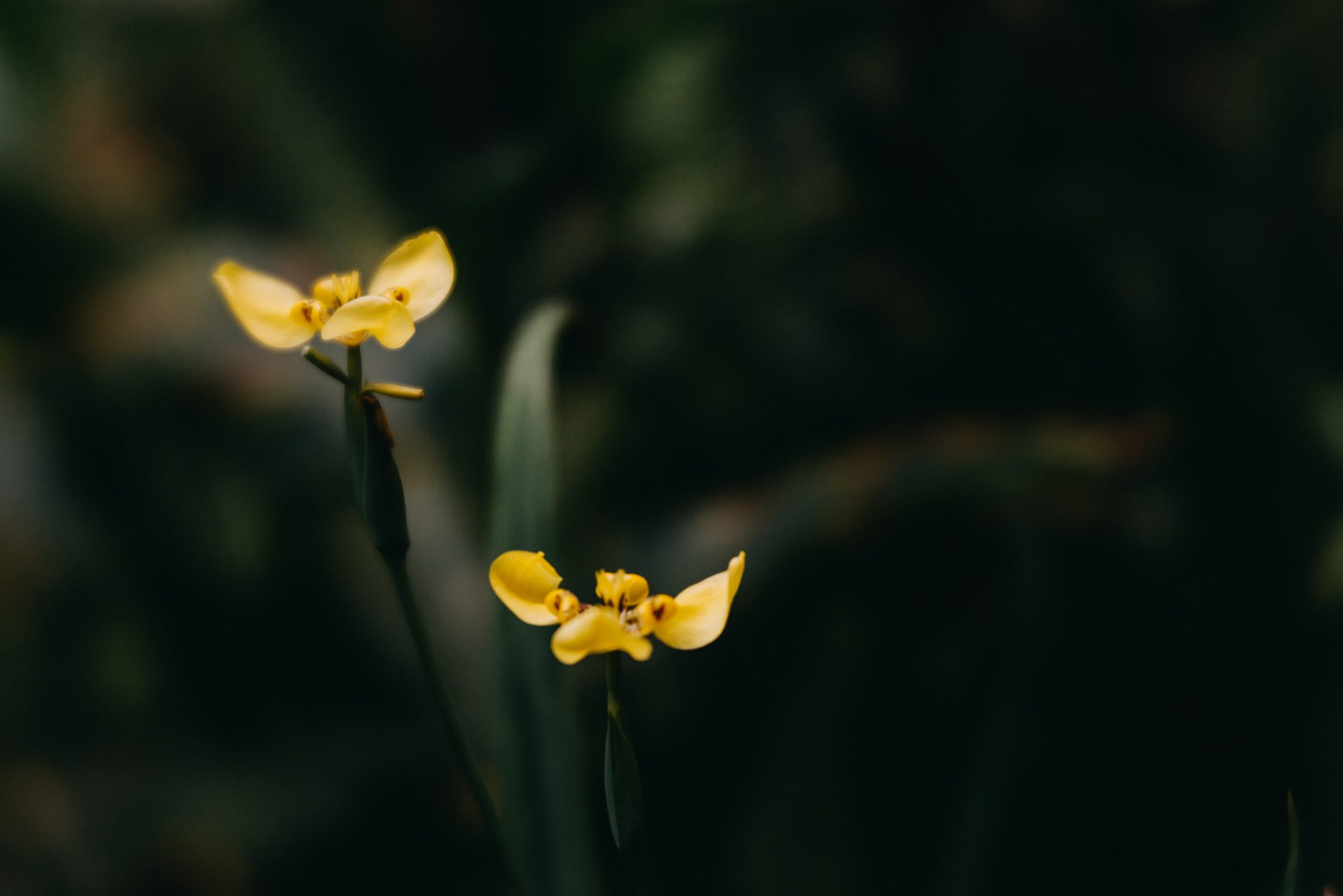 Two yellow flowers in the dark by lucy ketchum macro nature flower two yellow flowers in the dark mightylinksfo