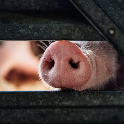 A curious pig demands pets
