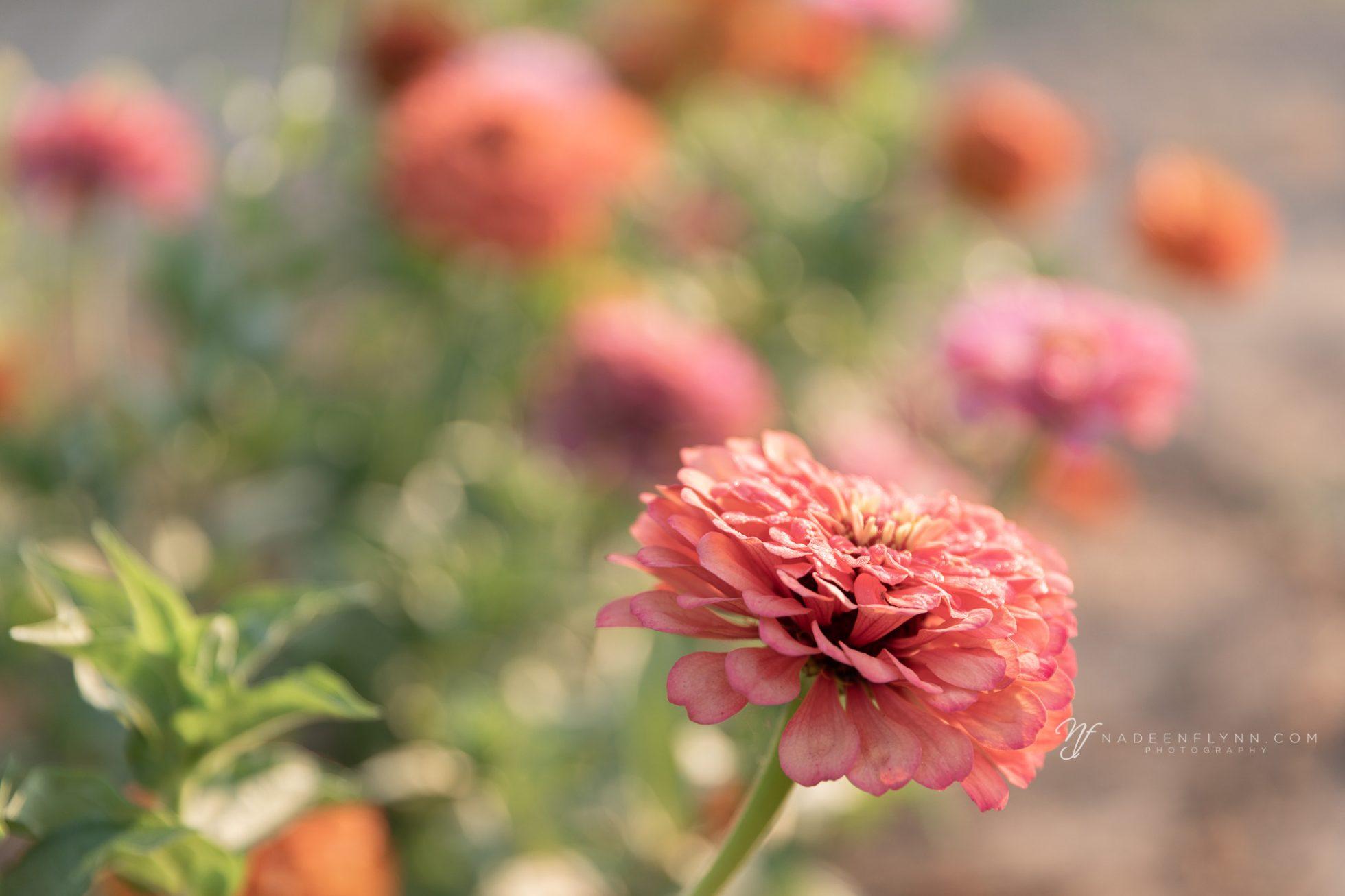garden walk to see pink zinnias