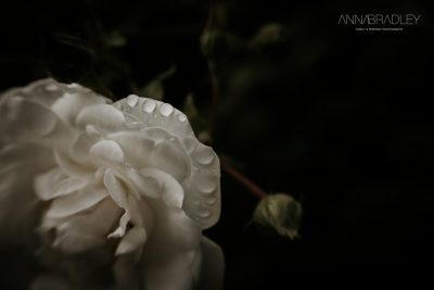 Raindrops on roses fine art photograph Amersham Buckinghamshire