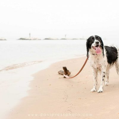 Casey Love dog english springer spaniel beach maryland wet puppy cute danipress photography danielle lundberg 2