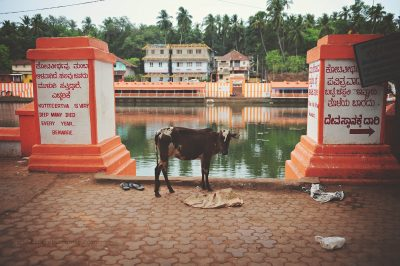A cow stands beside the tank of a temple in Southern India