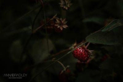 Wild strawberries fine art photograph Amersham Buckinghamshire